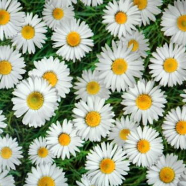 Green and White Daisy Floral PVC Vinyl Tablecloth